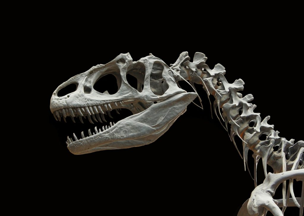 Скелет динозавра аллозавра